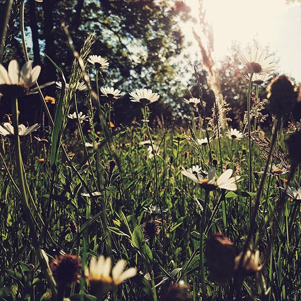 photo d'une prairie pyrénéenne fleurie de marguerites.
