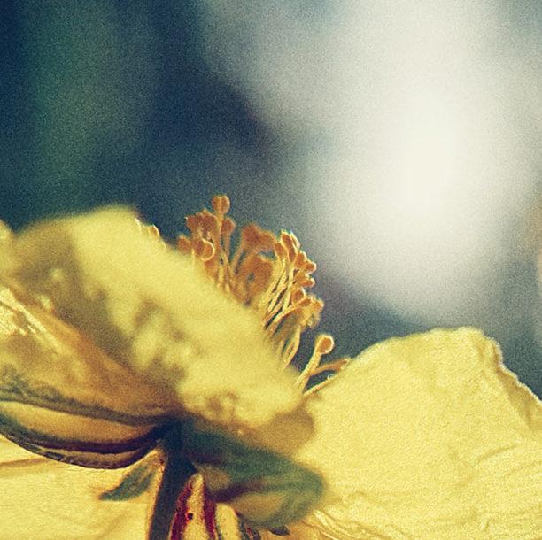 Photo d'une fleur d'elianthème